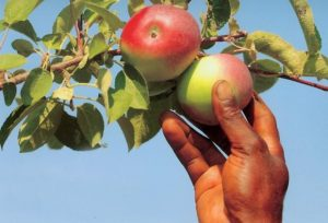 hand plucking a fruit on a tree